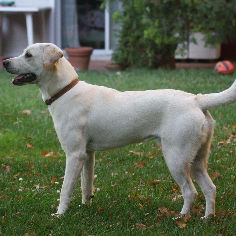 White labrador in garden